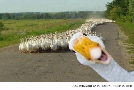 Duck-photobombs-his-friends-resizecrop--