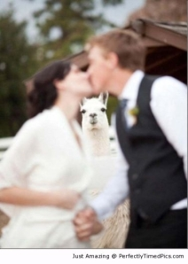 Llama-photobombs-the-kiss-scene-resizecrop--