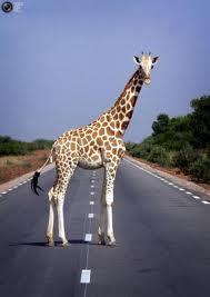 giraffe road