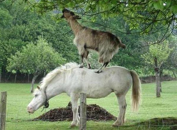 goat horse
