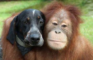 orangutan dog