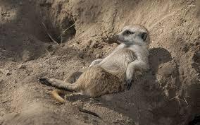 lazy meerkat