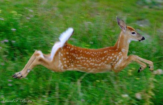 deer fawn running